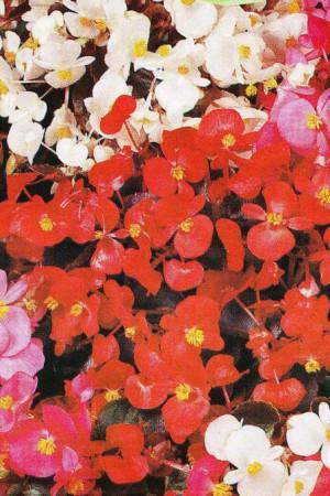 Semences de fleurs : Bégonia Des jardins varié