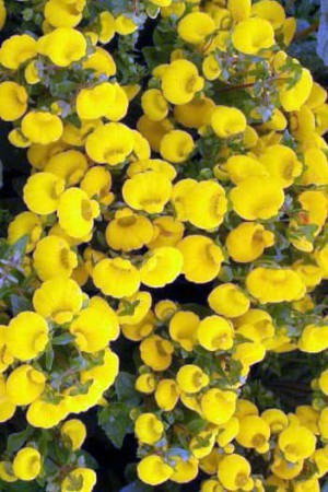 Semences de fleurs : Calceolaire Jaune