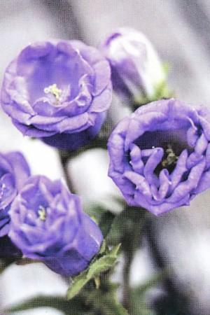 Semences de fleurs : Campanule Medium