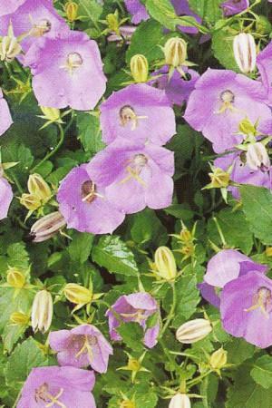 Semences de fleurs : Campanule Capartica bleue