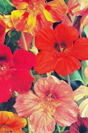 Semences de fleurs : Capucine Grande simple variée