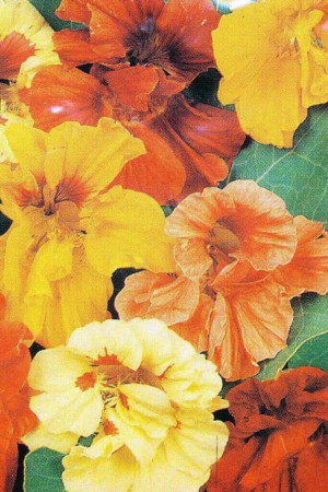 Semences de fleurs : Capucine Grande double variée
