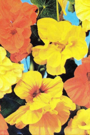 Semences de fleurs : Capucine Naine simple variée