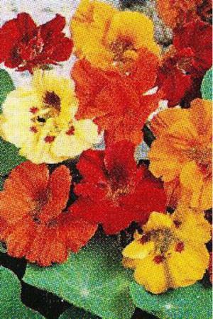 Semences de fleurs : Capucine Naine double variée