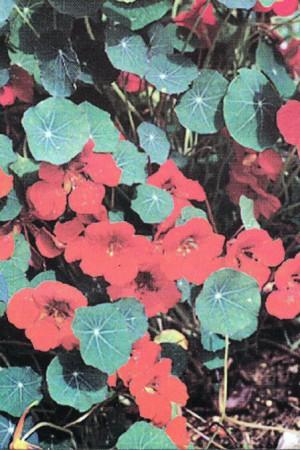 Semences de fleurs : Capucine Naine simple rouge