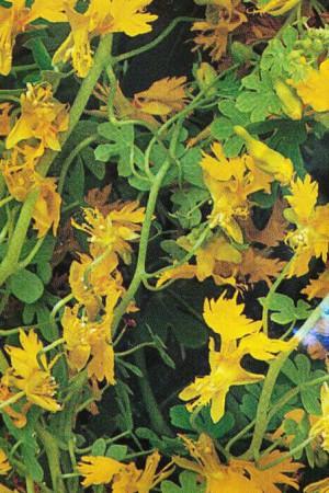 Semences de fleurs : Capucine Grande simple frangée jaune