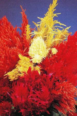 Semences de fleurs : Célosie couileur variée