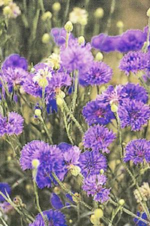 Semences de fleurs : Centaurée Double bleue (bleuet)