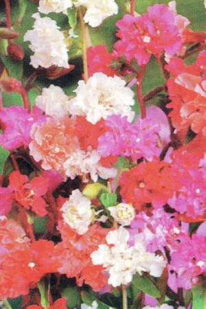 Semences de fleurs : Clarkia Elegant variée