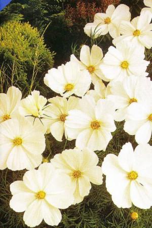 Semences de fleurs : Cosmos Sonata