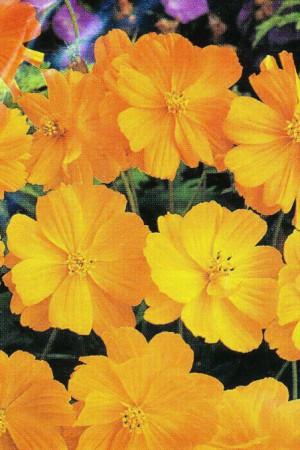 Semences de fleurs : Cosmos Sulfurea Sunset