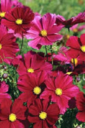 Semences de fleurs : Cosmos Rubenza