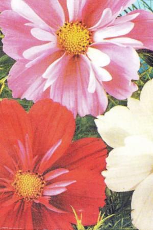Semences de fleurs : Cosmos Sensation varié