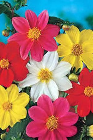 Semences de fleurs : Dahlia Mignon