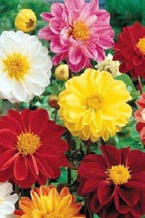 Semences de fleurs : Dahlia Double varié