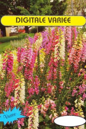 Semences de fleurs : Digitale A fleur de gloxinia