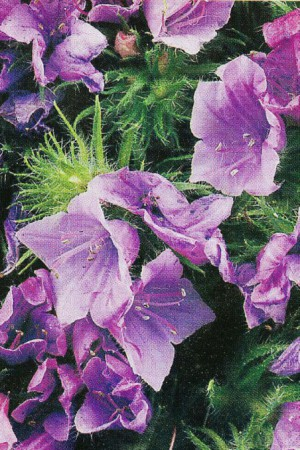 Semences de fleurs : Echium Blue Bedder