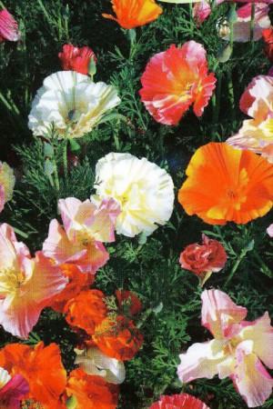 Semences de fleurs : Eschscholtzia Double variée