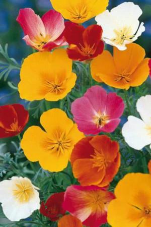 Semences de fleurs : Eschscholtzia Simple variée