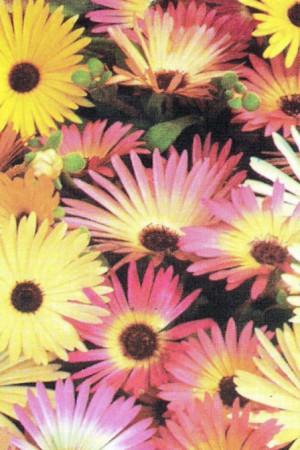 Semences de fleurs : Ficoïde Criniflorum