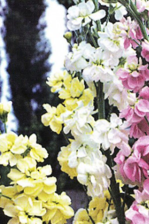 Semences de fleurs : Giroflée Quarantaine grande