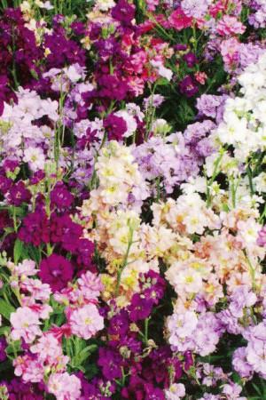 Semences de fleurs : Giroflée Quarantaine naine
