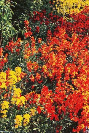 Semences de fleurs : Giroflée Meuret grande
