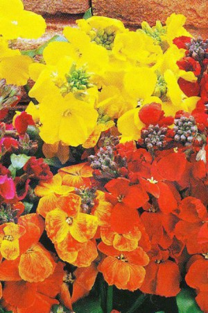 Semences de fleurs : Giroflée Meuret naine