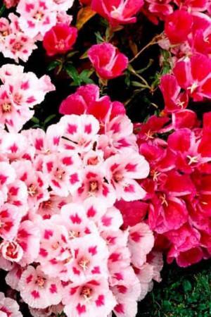 Semences de fleurs : Godetia A fleur d'azalée