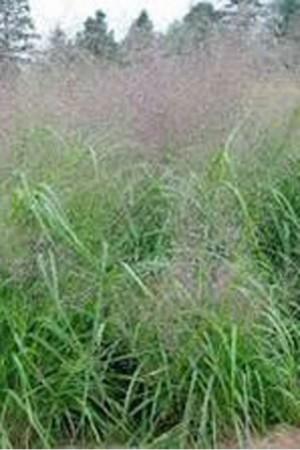 Semences de fleurs : Graminée orn. Eragrostis elegans