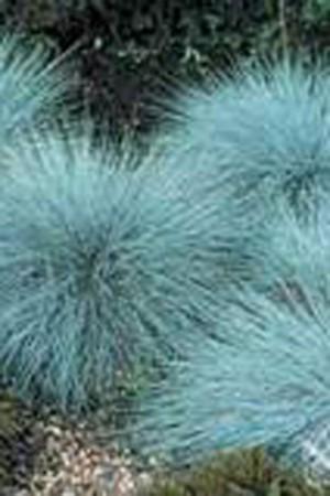 Semences de fleurs : Graminée orn. Festuca glauca