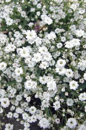 Semences de fleurs : Gypsophile Paniculata