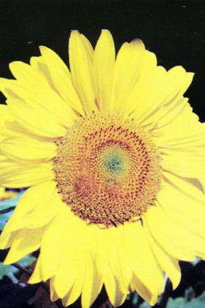 Semences de fleurs : Helianthus Simple 2 m