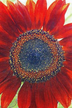 Semences de fleurs : Helianthus Simple pétale rouge 180 cm