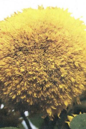 Semences de fleurs : Helianthus Double 180 cm
