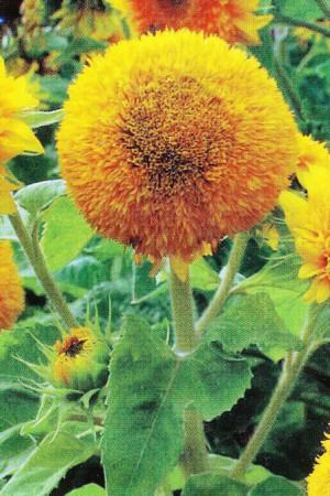 Semences de fleurs : Helianthus Double 60 cm