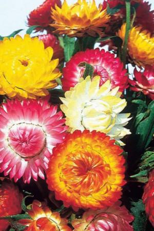 Semences de fleurs : Immortelle Double