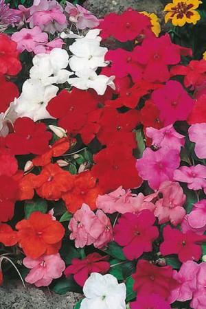 Semences de fleurs : Impatiens Safari F2