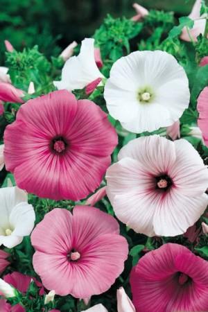 Semences de fleurs : Lavatère A grandes fleurs variées