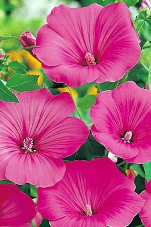 Semences de fleurs : Lavatère Loveliness rose