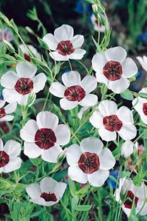 Semences de fleurs : Lin Bright Eyes