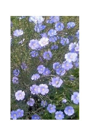 Semences de fleurs : Lin Bleu
