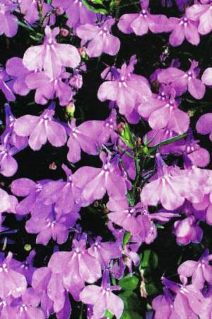 Semences de fleurs : Lobélia Crystal Palace