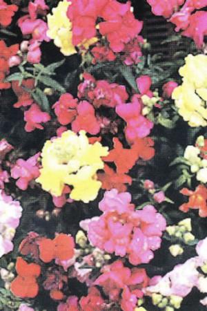 Semences de fleurs : Muflier Tom Pouce