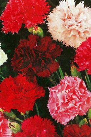 Semences de fleurs : Œillet Des fleuristes