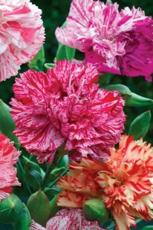 Semences de fleurs : Œillet Caryophyllus Fantasy