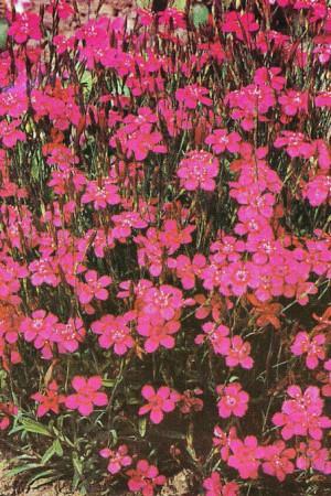 Semences de fleurs : Œillet De rocailles