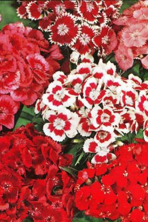 Semences de fleurs : Œillet Des poètes