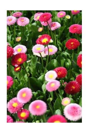 Semences de fleurs : Paquerette Pomponette