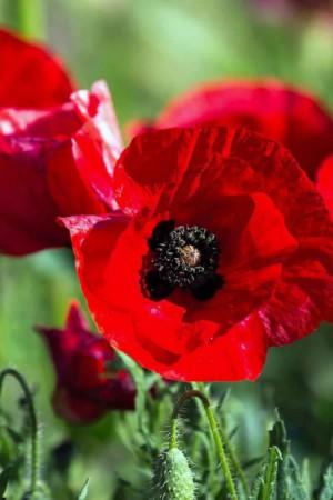 Semences de fleurs : Pavot Deep Scarlet